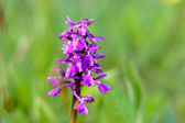 Wild green winged orchid — Stock Photo