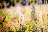 Lizard Orchid — Stock Photo