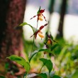 Golden Lady Slipper Orchid — Stock Photo #73862853