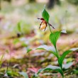 Golden Lady Slipper Orchid — Stock Photo #73863035