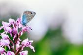 Gossamer Winged Butterfly — Fotografia Stock