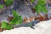 Tenerife lizard — Stock Photo