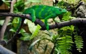 Reus chameleon — Stockfoto