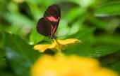 Postman Butterfly over yellow flower — Stock Photo