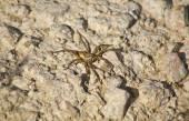 Lycosa tarantula over stony area — Stock Photo