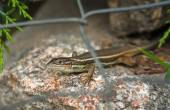 Lizard trought the fence — Stock Photo