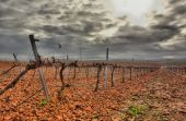 Vineyard in Guadiana river lands — Stock Photo