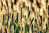Backlit cereals — Stock Photo