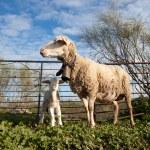Baby lamb and her maternal sheep  — Stock Photo #61397075