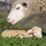 Baby lamb and her maternal sheep  — Stock Photo #61398059