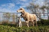 Baby lamb and her maternal sheep  — Stok fotoğraf