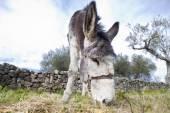 Donkey grazing closeup — Stockfoto