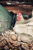 Hen with several fresh big eggs — Stock Photo
