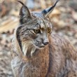 Iberian lynx portrait — Stock Photo #78884680