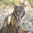 Iberian lynx through the fence — Stock Photo #78884990