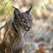 Iberian lynx through the fence — Stock Photo #78885076