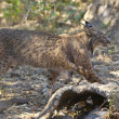 Iberian lynx side view — Stock Photo #78885600