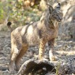 Iberian lynx on alert position — Stock Photo #78885660