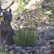 Iberian lynx with tonge out — Stock Photo #78886362