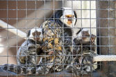 Family of marmosets — Stock Photo