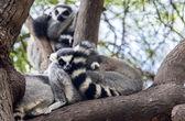 Ring-tailed lemur resting — Stock Photo