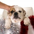Little French bulldog cub in Christmas box as Santa present in dog gift xmas concept — Stock Photo #57825763