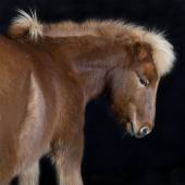 Iceland pony brown against black background — Stock Photo