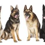 Four German Shepherds — Stock Photo #65717013