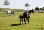 Two mares with foals — Stock Photo