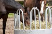 Horses eating from hay rack  — Stock Photo