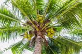 Palm trees with coconut on the beach. — Stock Photo