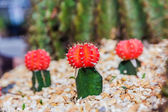 Colorful cactus in the garden  — Stock Photo
