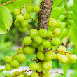 Star gooseberry — Stock Photo #55331409