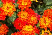 Beautiful Colorful Hedge Flower, Weeping Lantana — Stock Photo