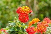 Beautiful Colorful Hedge Flower, Weeping Lantana — Foto Stock