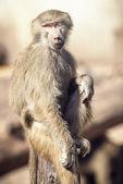 Makaak monkey zitten — Stockfoto