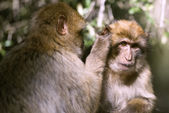 Barbary macaque — Stock Photo