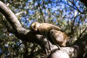 Barbary macaque asleep — Stock Photo