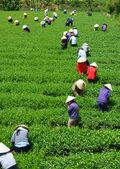 Crowd Vietnamese farmer tea picker  on plantation — Stock Photo