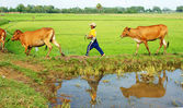 Asian child labor tend cow, Vietnam rice plantation — Stock Photo