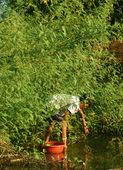 Toma de vietnamita dien dien flor, sesbania sesban — Foto de Stock