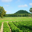 Agricultural farm, Pachyrhizus field, palm tree, moutain — Stock Photo #55462823