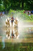 Activity sport, Vietnamese farmer, cow race — Stock Photo