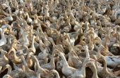 Flock of white duck — Stock Photo