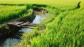 Vietnam yellow paddy field, bamboo bridge — Stock Photo