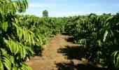 Vietnam coffee tree, coffee bean — ストック写真