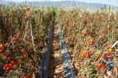 Asian agricultural field, tomato farm — Stock Photo
