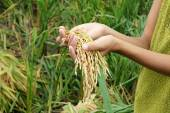 World food security, famine, Asia rice field — Stock Photo