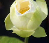 Vietnamese flower, white lotus flower — Stock Photo