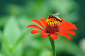 Bumble Bee Gathering Polen From Zinnia — Stock Photo